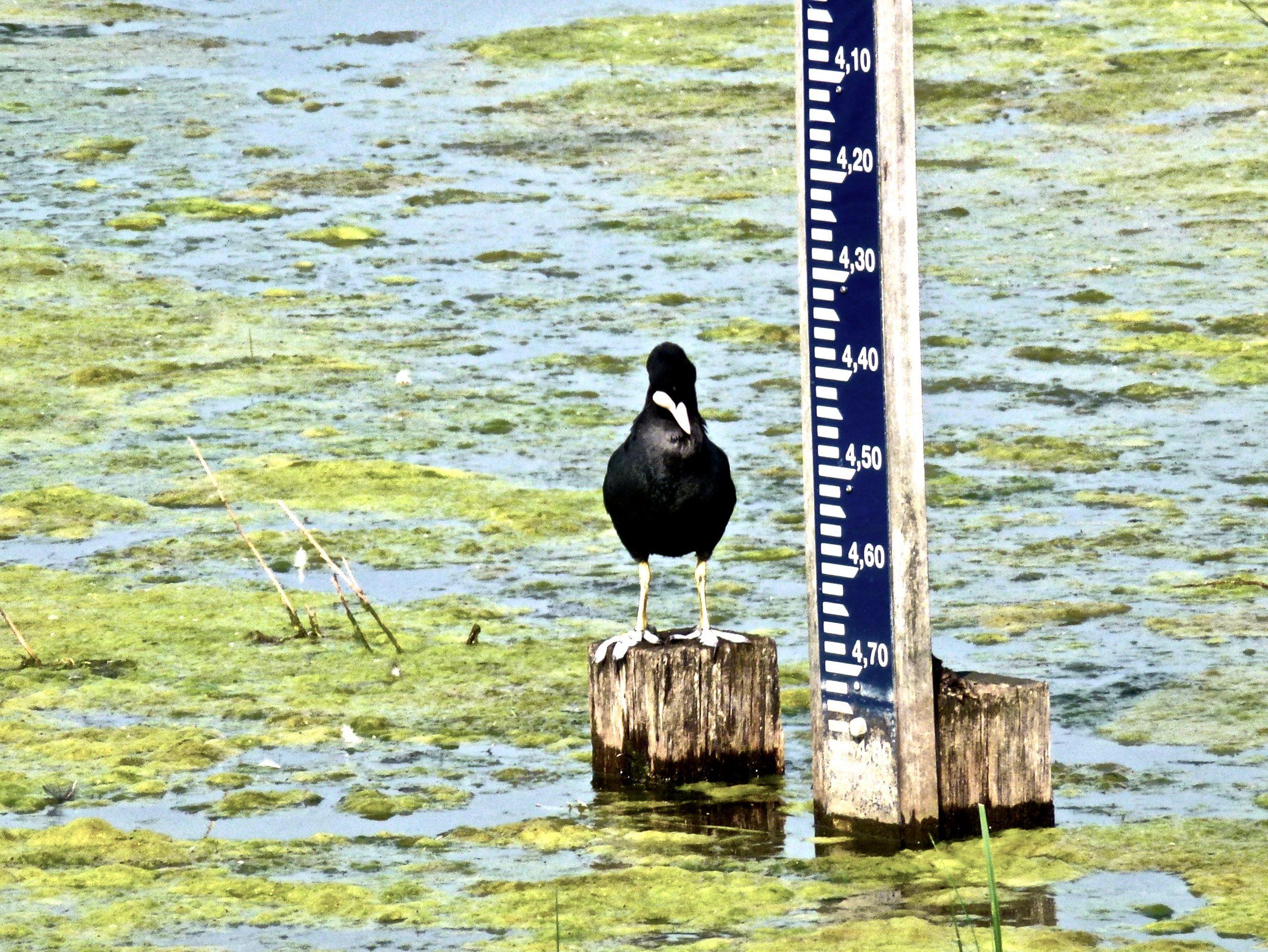Een meerkoet inspecteert het waterpeil