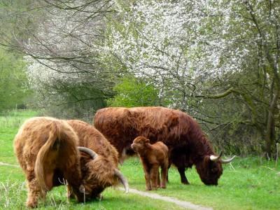 HooglanderFauna (Overige dieren) - bijschrift: Hooglanders in het zuidelijk deels in het zuidelijk deel