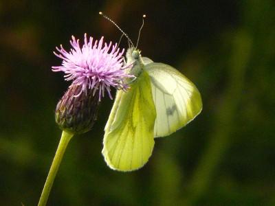 Het Bos is voor vlinders een ideale habitat