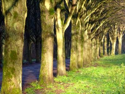 Lindebomen in de winter