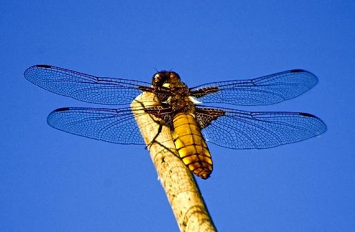 Libellen, de helikopters van het Bos