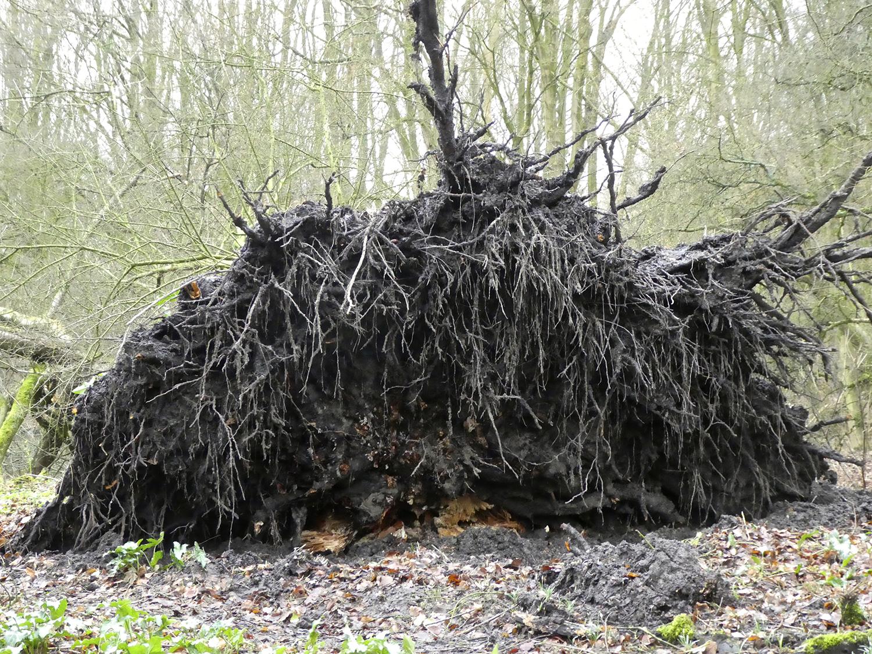 De omgevallen prunus op het Vogeleiland. Het wortelstelsel heeft een diameter van 4,5 meter.