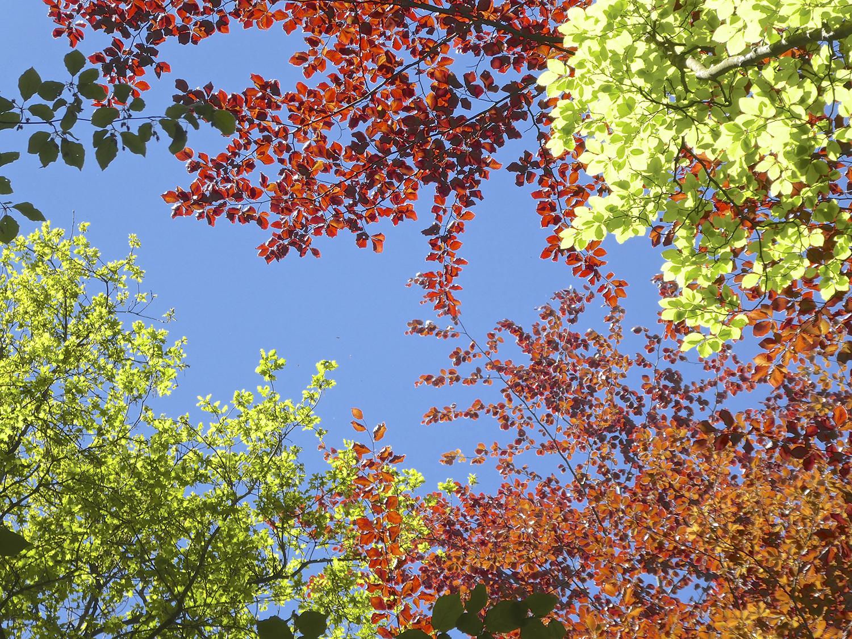 Een sprookjesbos dankzij de rode beuk