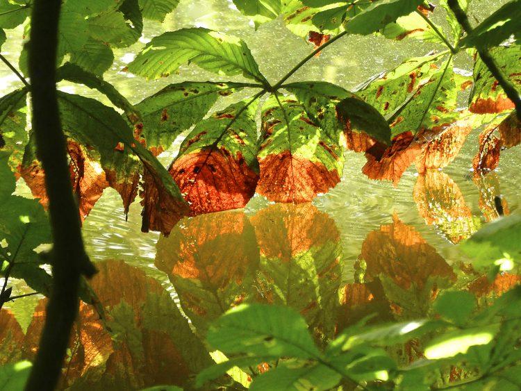Verdorde kastanjebladeren