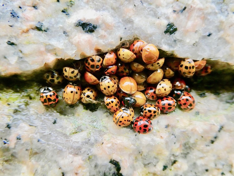 Lieveheersbeestjes in winterslaap op een granieten kunstwerk