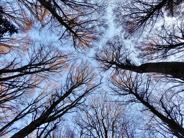 De kruinen van de bomen raken elkaar niet