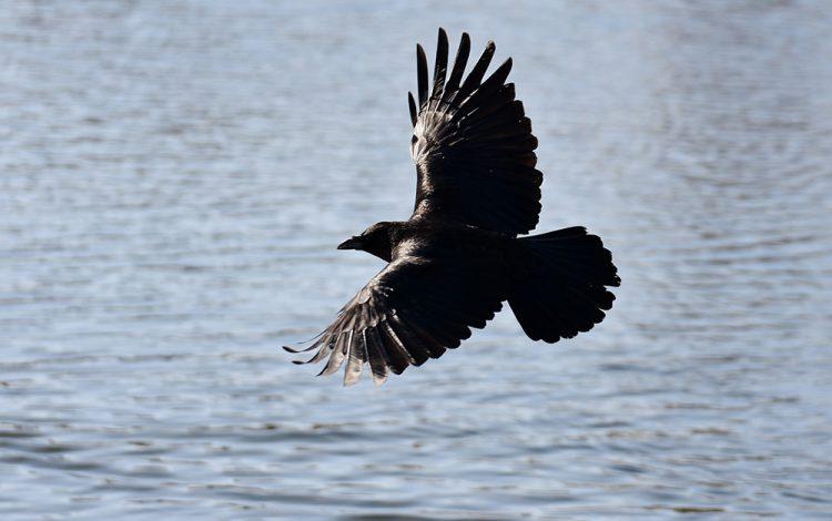 Een raaf in vogelvlucht