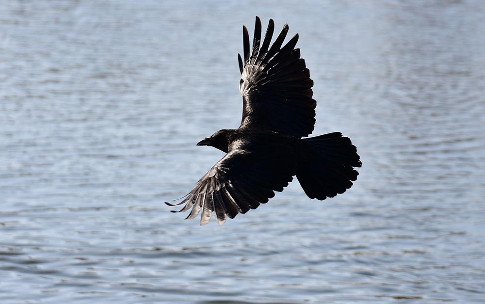 De spanwijdte van de vleugels van een raaf is 1,20 meter