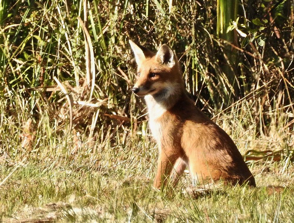 De eerste vos in het Bos in beeld (foto: Marianne Oosterhuis)