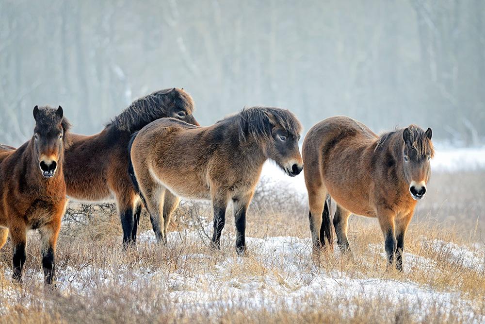 Exmoor pony's, binnenkort te bewonderen in het Schinkelbos