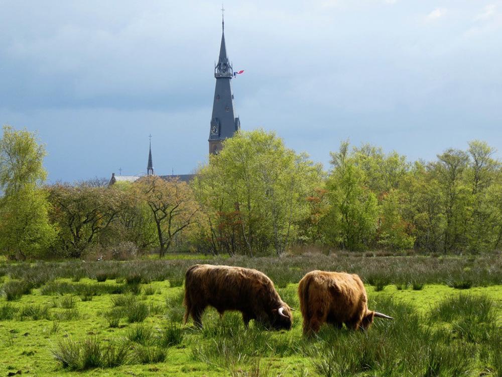 Rechts van de Hooglanders is een poel ontwikkeld . De Hooglanders komen terug.