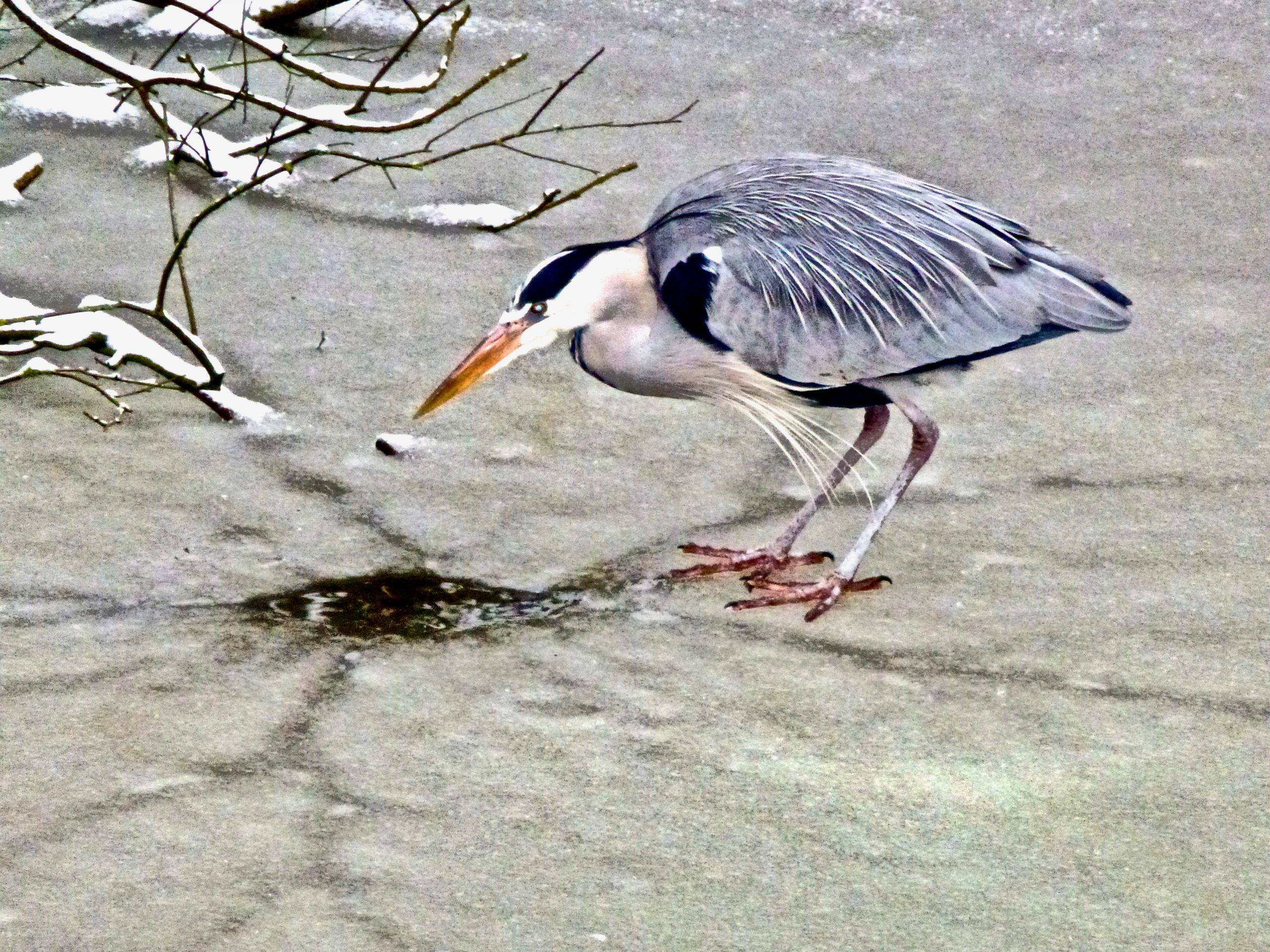 Een reiger wacht geduldig op een hapje bij het laatste wak. Watervogels en dieren hadden het zwaar.